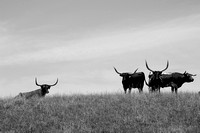 ELLSWORTH COUNTY LONGHORNS
